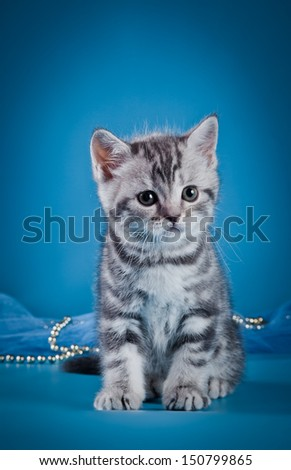 British breed kitten, tabby - stock photo