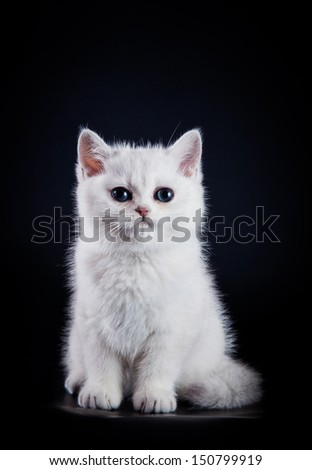 British breed kitten, tabby - stock photo