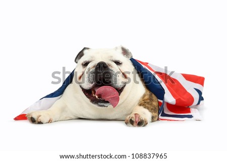 British Bulldog - stock photo