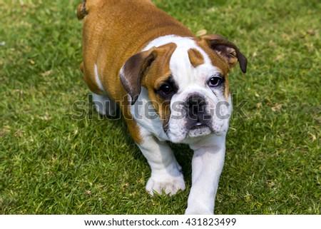 British bulldog walking towards  something - stock photo