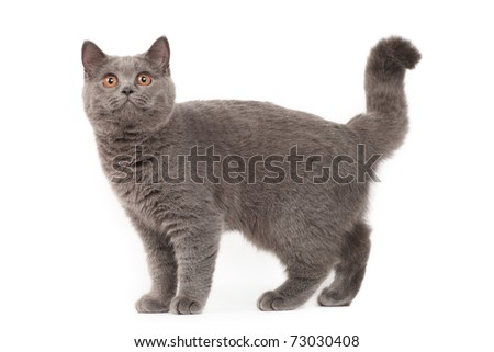 British cat - stock photo