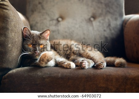 british cat at home - stock photo