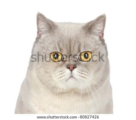 British cat. Close-up portrait on a white background - stock photo