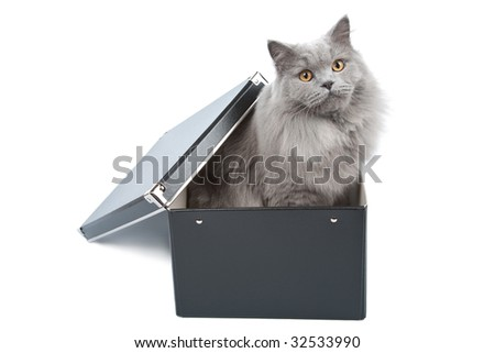 british cat in black box isolated - stock photo