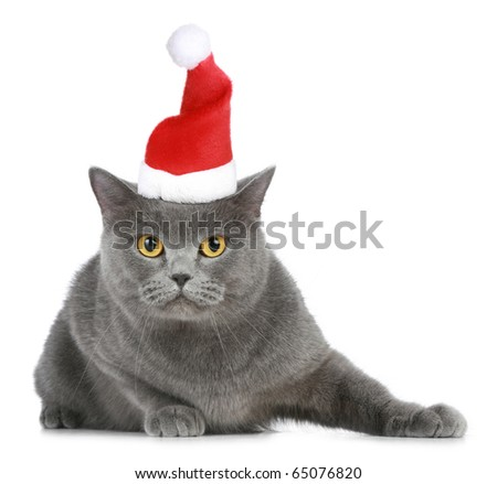 British cat in red Christmas cap on a white background - stock photo