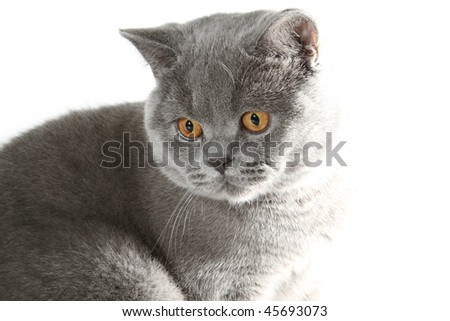 British cat in studio - stock photo