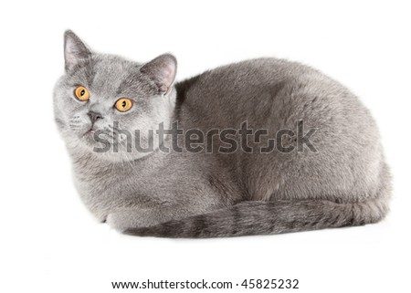 British cat in studio isolated on white background - stock photo
