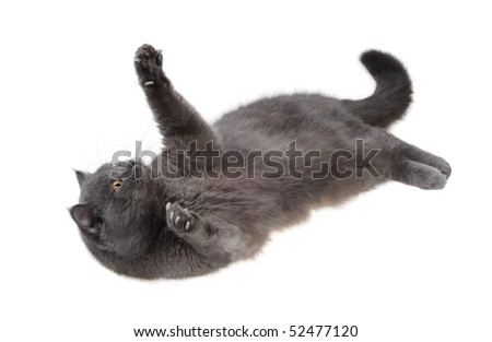 British cat is lying on his back and looking up and playing paws, isolated on white. - stock photo