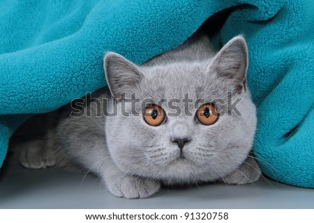 British cat, kitten - stock photo