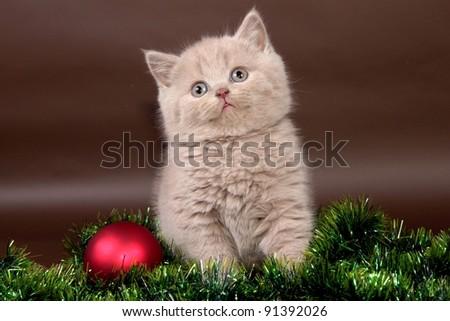 British cat, kitten background christmas - stock photo