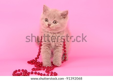 British cat, kitten background christmas