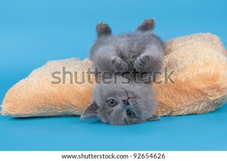 British  cat, kitten blue