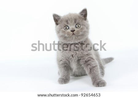 British  cat, kitten blue isolated  on white background
