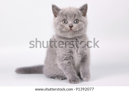 British  cat, kitten isolated on white background