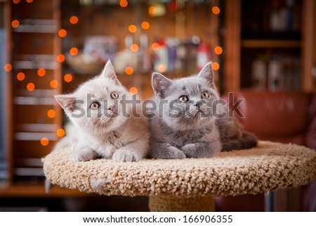 British cat, kitten on a colored background - stock photo