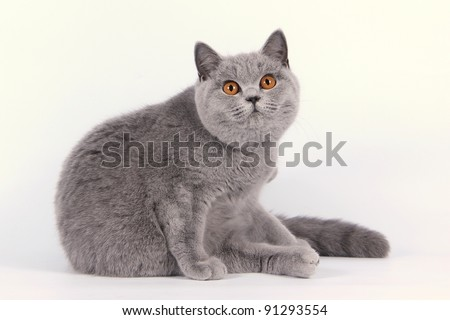 British cat, kitten on white background