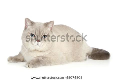 British cat lies on a white background - stock photo