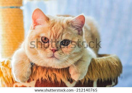 British Cat look at me Now ! - stock photo