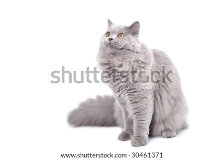 british cat looking up isolated - stock photo