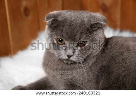 British cat lying on fur rug on wooden background