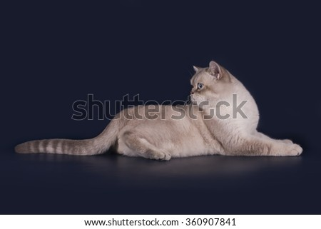 British cat on a blue background isolated