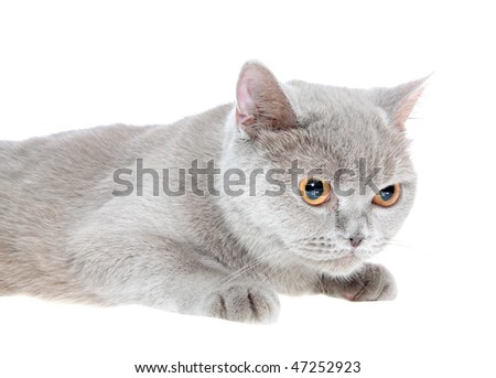 British cat on a white background, is isolated.