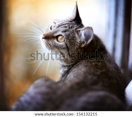 British cat on a window - stock photo