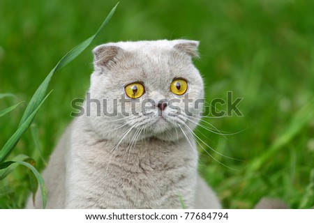 British cat on green grass. - stock photo