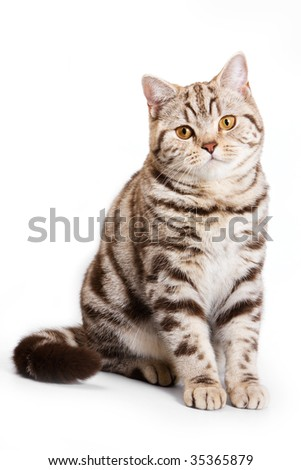 British cat on white background - stock photo