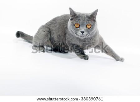 British cat on white background - stock photo