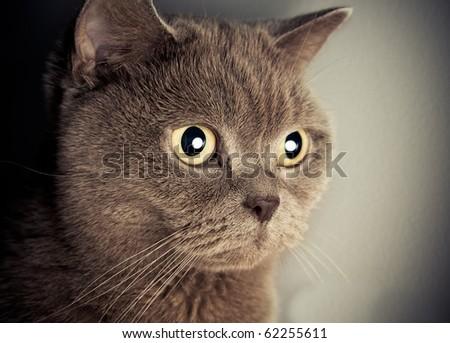 british cat portrait - stock photo