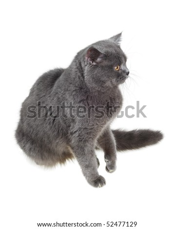 British cat sits and stares sideways, lifting a paw, isolated on white. - stock photo
