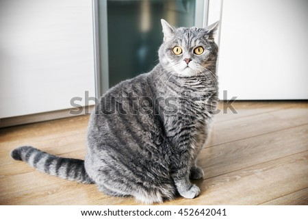 British cat sitting on the floor and looking carefully. cat look. Focus on the eyes. vignetting conceived as an artistic effect - stock photo