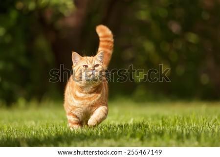 British cat walking on the grass - stock photo