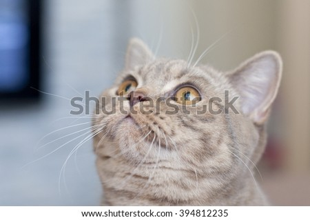 british cat with yellow eyes is looking up