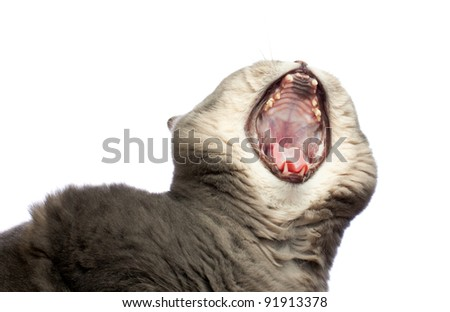 British cat yawning