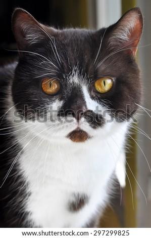 British chocolate cat - stock photo