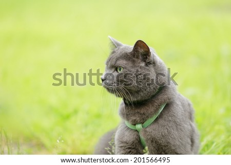 british chorthair cat looking in the field, close up