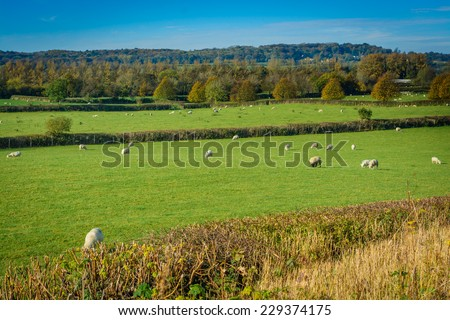 British countryside with sheep in a field