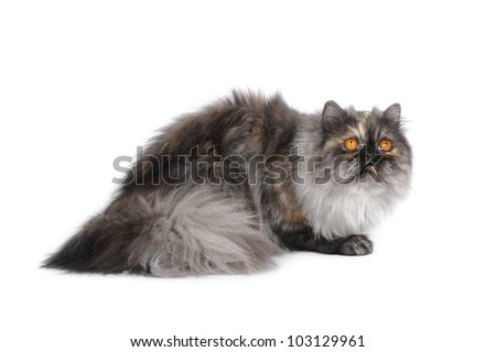 British exotic cat in studio on a white background - stock photo
