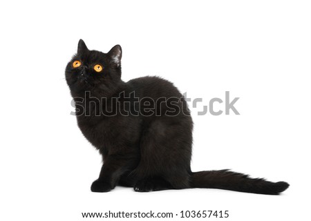 British exotic shorthair cat in studio on a white background - stock photo