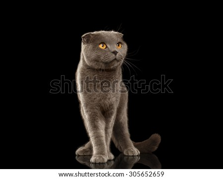 British Fold Cat Funny Stands on Black Mirror background - stock photo