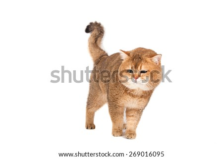 British gold ticked cat with green eyes on a white background.  - stock photo