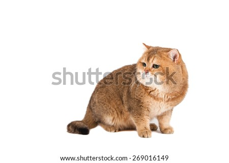 British gold ticked cat with green eyes on a white background. Cat sitting. - stock photo
