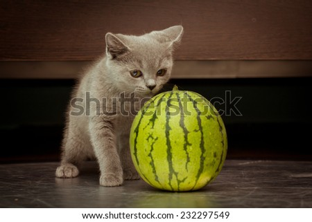 British gray kitten play with a juicy water-melon over black background - stock photo