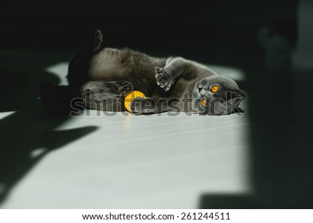 British grey cat, plays with yellow ball, with yellow eyes - stock photo