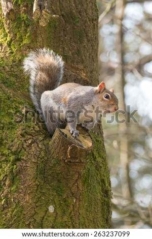 British grey squirrel, Sciurus Carolinensis, about to leap from a tree. - stock photo