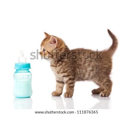 British Kitten and baby milk bottle on white background. - stock photo