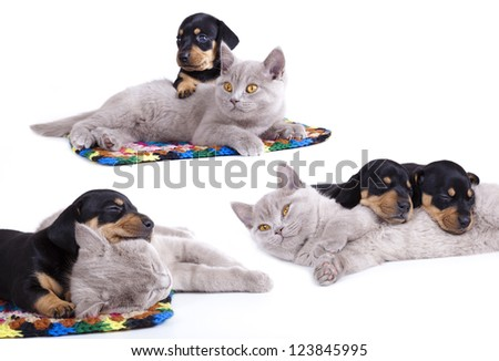 British kitten and  dachshund puppies - stock photo