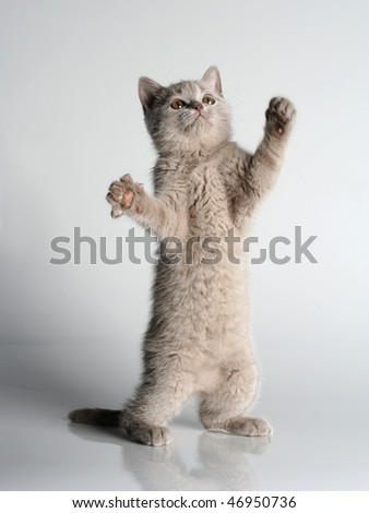 British kitten in studio on the gray background